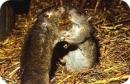 Le rat gris ou rat surmulot